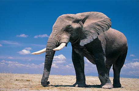 Imam Maliku dhe elefanti