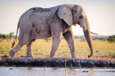Imam Maliku dhe ardhja e elefantit